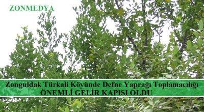Zonguldak Türkali köyünde toplanan defne yaprağı  önemli gelir kapısı oluyor.