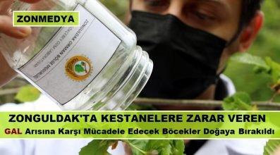 Zonguldak'ta kestanelere zarar veren Gal arısına karşı mücadele edecek böcekler doğaya bırakıldı