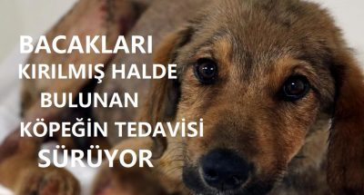 Zonguldak'ta bacakları kırılmış halde bulunan köpeğin tedavisi sürüyor