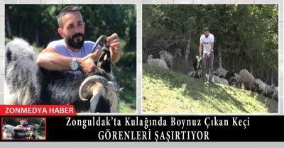 Zonguldak'ta kulağında boynuz çıkan keçi görenleri şaşırtıyor